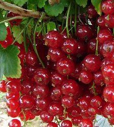 Ríbezľa červená kríková ´JONKHEER VAN TETS´ 30 cm, voľnokorenná. image