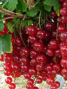 Ríbezľa červená kríková ´JONKHEER VAN TETS´ 50-60 cm, voľnokorenný. image