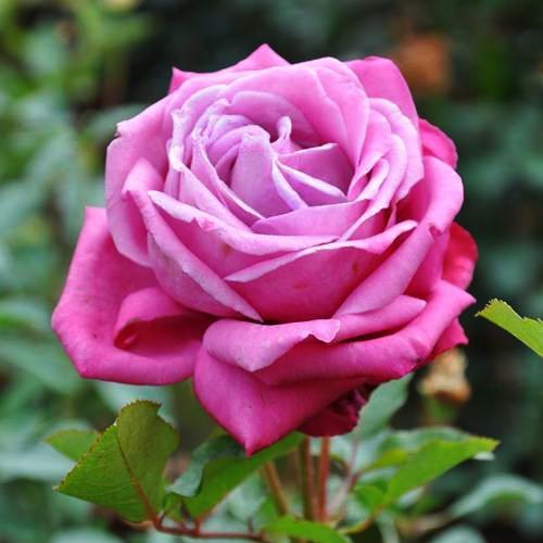 Ruža ´Lila Wunder´ kont. 3L image