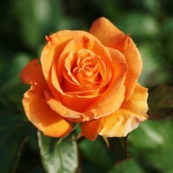 Ruža veľkokvetá kríková ´Doris Tysterman´ image