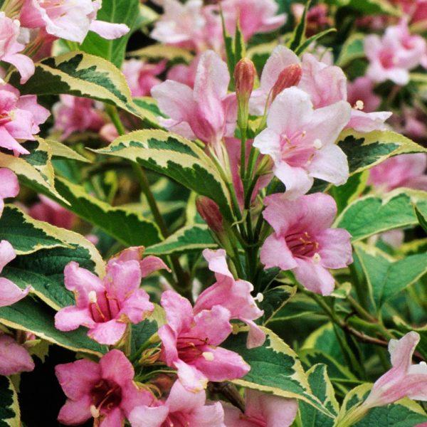 Vajgela kvetnatá ´NANA VARIEGATA´ 40-50 cm image