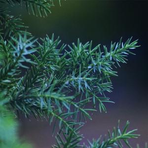 Borievka čínska ´Blue Alps´ 20-30 cm image