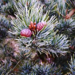 Borovica málokvetá ´Negishi´ 30-40 cm image