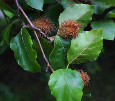 Buk lesný - 60 cm, voľnokorenný image