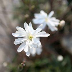 Magnólia hviezdokvetá ´Royal Star´ 50-60 cm image