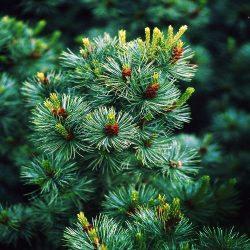Borovica málokvetá ´Glauca´ 30-40 cm image