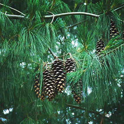 Himalajská borovica 30-40 cm, kont. 3L image