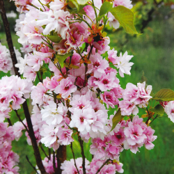 Okrasná čerešňa, sakura ´Amanogawa´ 150-175cm image