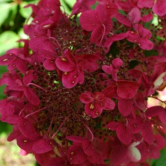Hortenzia metlinatá ´Wim´s Red´ 35-40 cm 3L kont. image