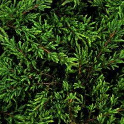 Borievka obyčajná ´Repanda´ 20-30 cm image