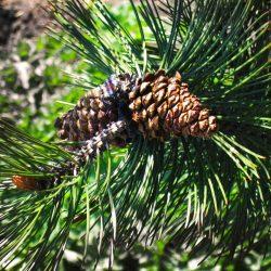 Borovica pancierová ´Sateliit´ 40-50 cm image
