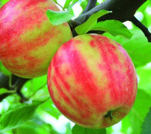 Jabloň zimná ´KARNEVAL´ podp. M26, 130-160 cm, kont. 4 L. image