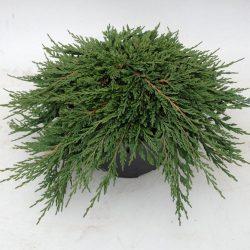 Borievka rozprestretá ´PANCAKE´ 20-30 cm. image