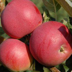 Jabloň zimná ´MELODIE® ´ podp. M26, kont. 4L. image