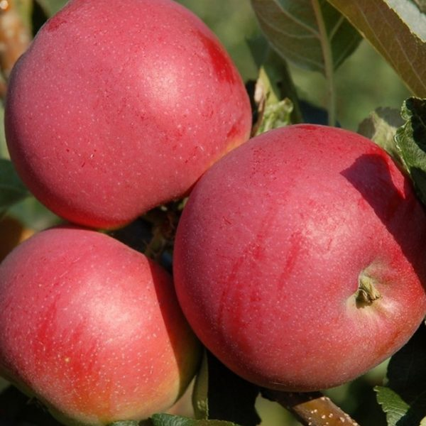 Jabloň zimná ´MELODIE® ´ podp. M26, voľnokorenná, 130-160 cm. image