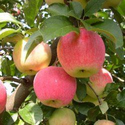 Jabloň zimná ´FLORINA´ podp. M9, kont. 7 L. image