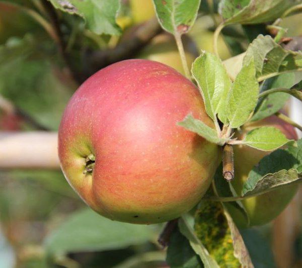 Jabloň zimná ´IDARED´ podp. M26, kont. 4L. image
