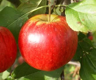 Jabloň jesenná ´RUBINOLA®´ podp. P 60, voľnokorenná, 130-170 cm. image