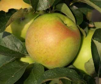 Jabloň jesenná stĺpovitá ´BOLERO ´podp. M7, voľnokorenná.