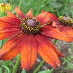 Rudbekia 'SUMMERINA ORANGE' kont. 1L. image