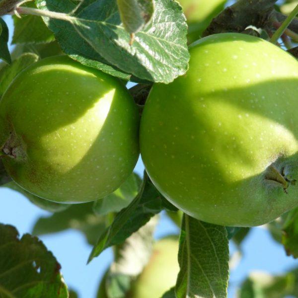 Jabloň stĺpovitá zimná ´GREEN CATS´ podp. M7. kont. 4L. image