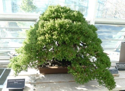 Borievka poliehavá ´NANA´ 20-25 cm, 2L. image