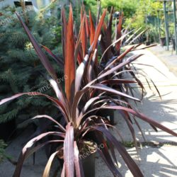 Cordyline ´SUPERSTAR´ 35-40cm image