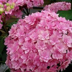 Hortenzia kalinolistá ´EXPRESSION´ kont. 3L, 20-25 cm. image