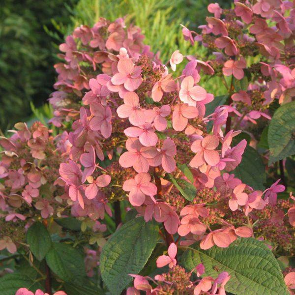 Hortenzia metlinatá ´EARLY SENSATION´ 50 cm kmienok, kont. 5L. image