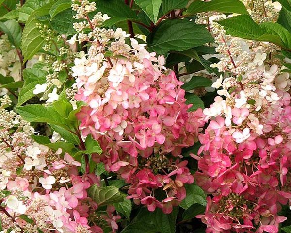 Hortenzia metlinatá ´PINKY WINKY´ kont. 3L, 40-60 cm. image