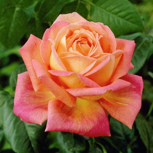 Ruža 'PEACE' image