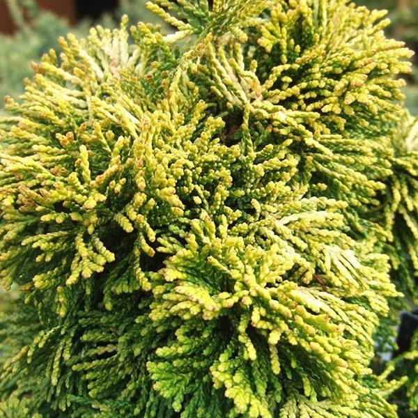 Cypruštek tupolistý 'AURORA' 15-20 cm, kont. 2,5L. image