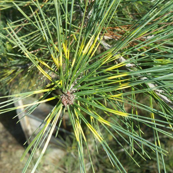 Borovica hustokvetá ´OCULUS DRACONIS´ 25-30 cm, kont. 5L image
