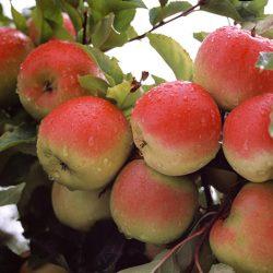 Jabloň zimná ´OTAVA®´ podp. M26, kont. 4L. image