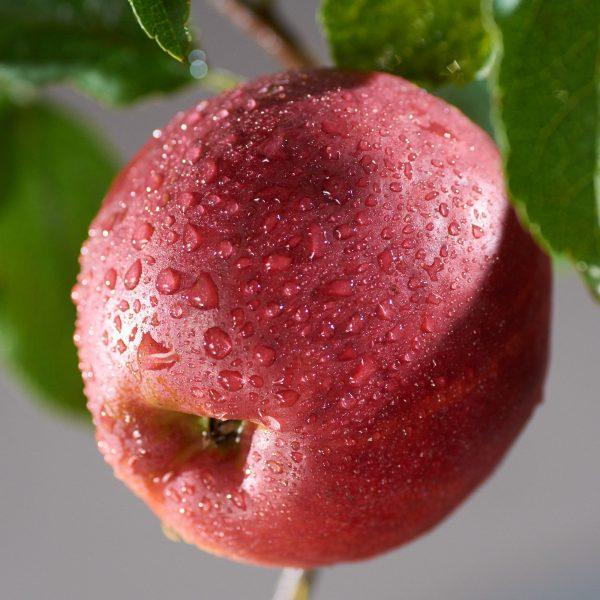 Jabloň zimná ´JONATHAN´ podp. M26, voľnokorenná , 140-170 cm. image