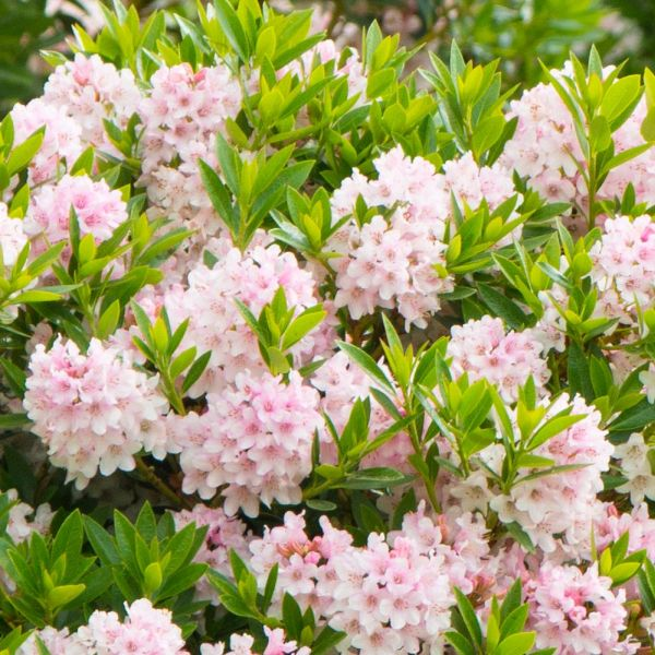 Rododendron ´BLOOMBUX® ´ 15-20 cm, 0,7 L. image
