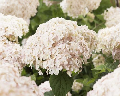 Hortenzia stromčekovitá ´Candybelle® Marshmallow´ kont. 5 L. výška 40-50 cm. image