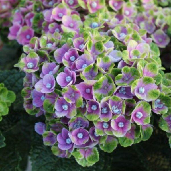 Hortenzia kalinolistá ´Magical Coral Blue ®´ kont. 5L, 30-40 cm. image