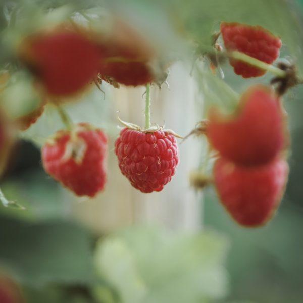 Malina červená ´Autumn Bliss´ kont. 2L image