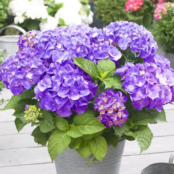 Hortenzia kalinolistá ´Little Purple ®´ kont. 2L, 15-20 cm. image
