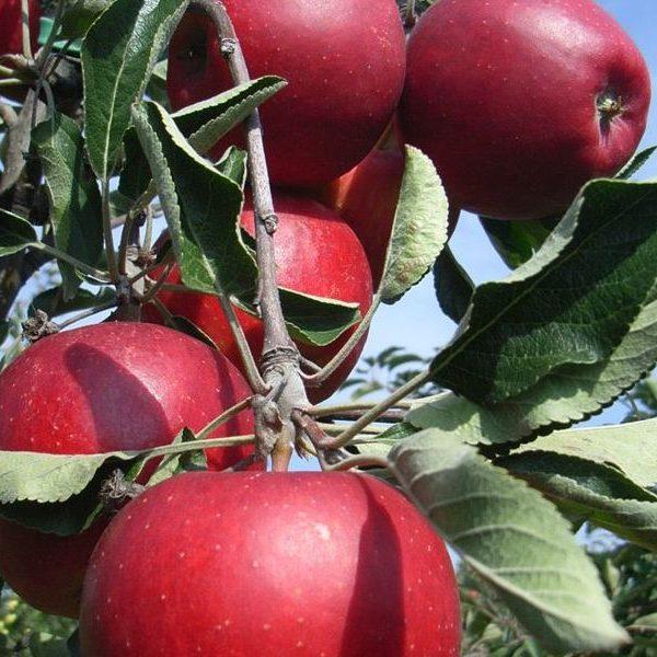 Jabloň jesenná ´SPARTAN´ podp. M26, voľnokorenná. 140-170 cm. image
