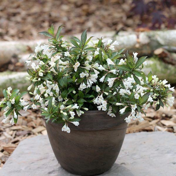 Vajgela kvetnatá ´Ebony and Ivory´ 30 - 40 cm