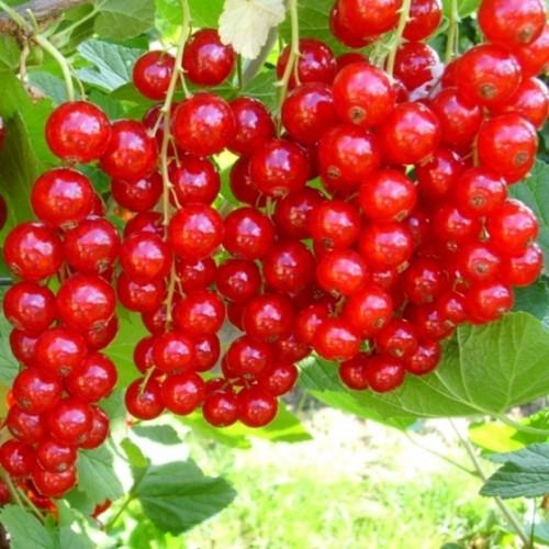 Ríbezľa červená stromčeková ´KOZOLUPSKÝ´ voľnokorenná. 80cm. image