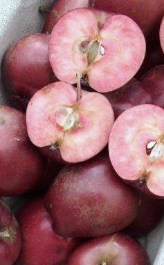 Jabloň jesenná stĺpovitá ´MAYPOLE´ podp. M7, kont. 4L. image