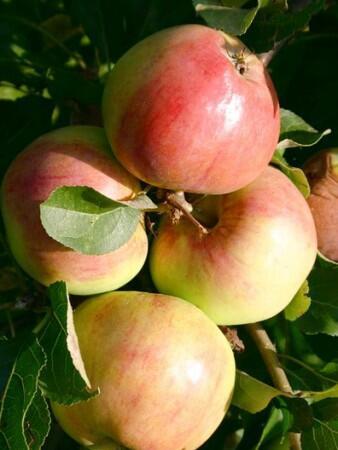 Jabloň jesenná stĺpovitá ´POLKA´ podp. M7, kont. 4L. image