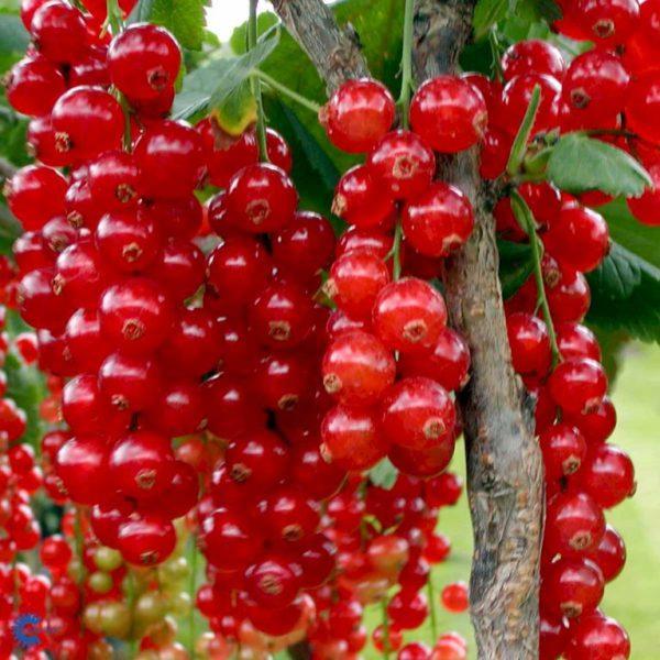 Ríbezľa červená ´ROLAN´ 40-50cm 3L kvetinac image