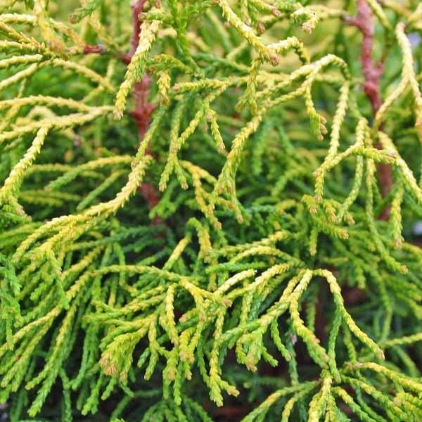 Cypruštek tupolistý 'TSATSUMI GOLD' 20-25cm