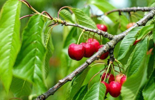 Ako sadiť ovocné stromy