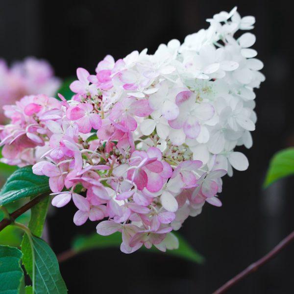 Hortenzia metlinatá ´PINKACHU®´ 25-30cm 3L image