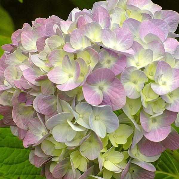 Hortenzia metlinatá ´(S)WITCH OPHELIA®´ 30-40cm. 3L image